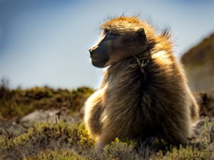 Baboons in the Cape