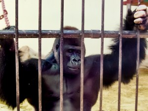 Dubai Zoo - Caged Gorilla