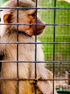 Dubai Zoo - Caged Monkey