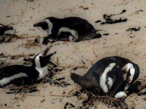 Nesting Penguins - Boulders Colony