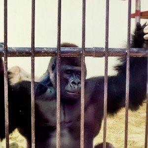 United Arab Emirates Featured Gorilla
