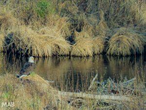Bald Eagle: Somewhere in Ontario