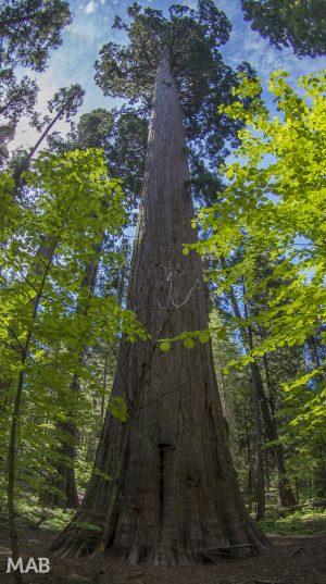 Big Trees 1