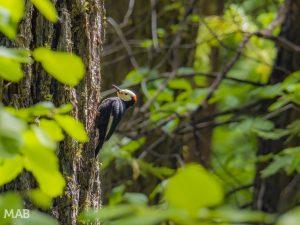 Big Trees Woodpecker
