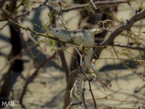 Mesquite Flat Lizard 2