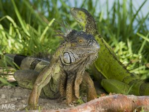 Iguanas Key West
