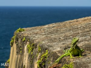 Iguana at San Felipe del Morro Fortress