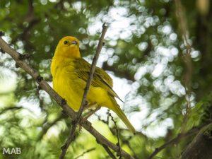 Name That Yellow Bird?