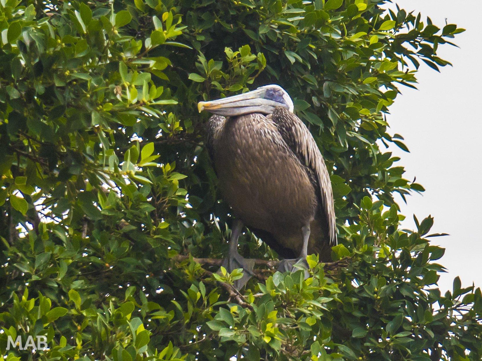Pelican in a Tree