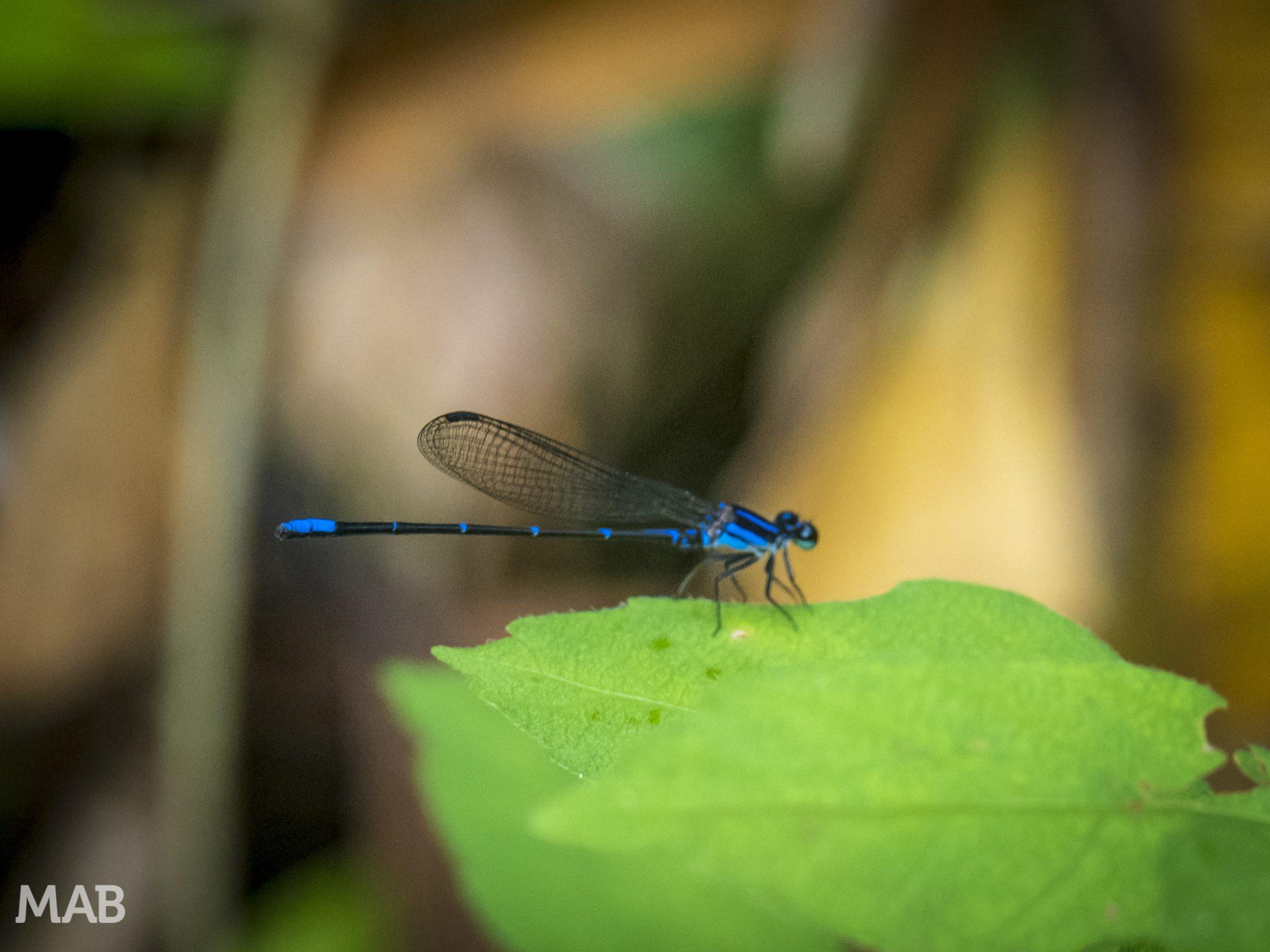 Lots of Dragonflies 2