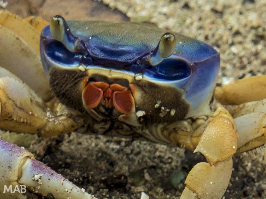 Made Up Crab