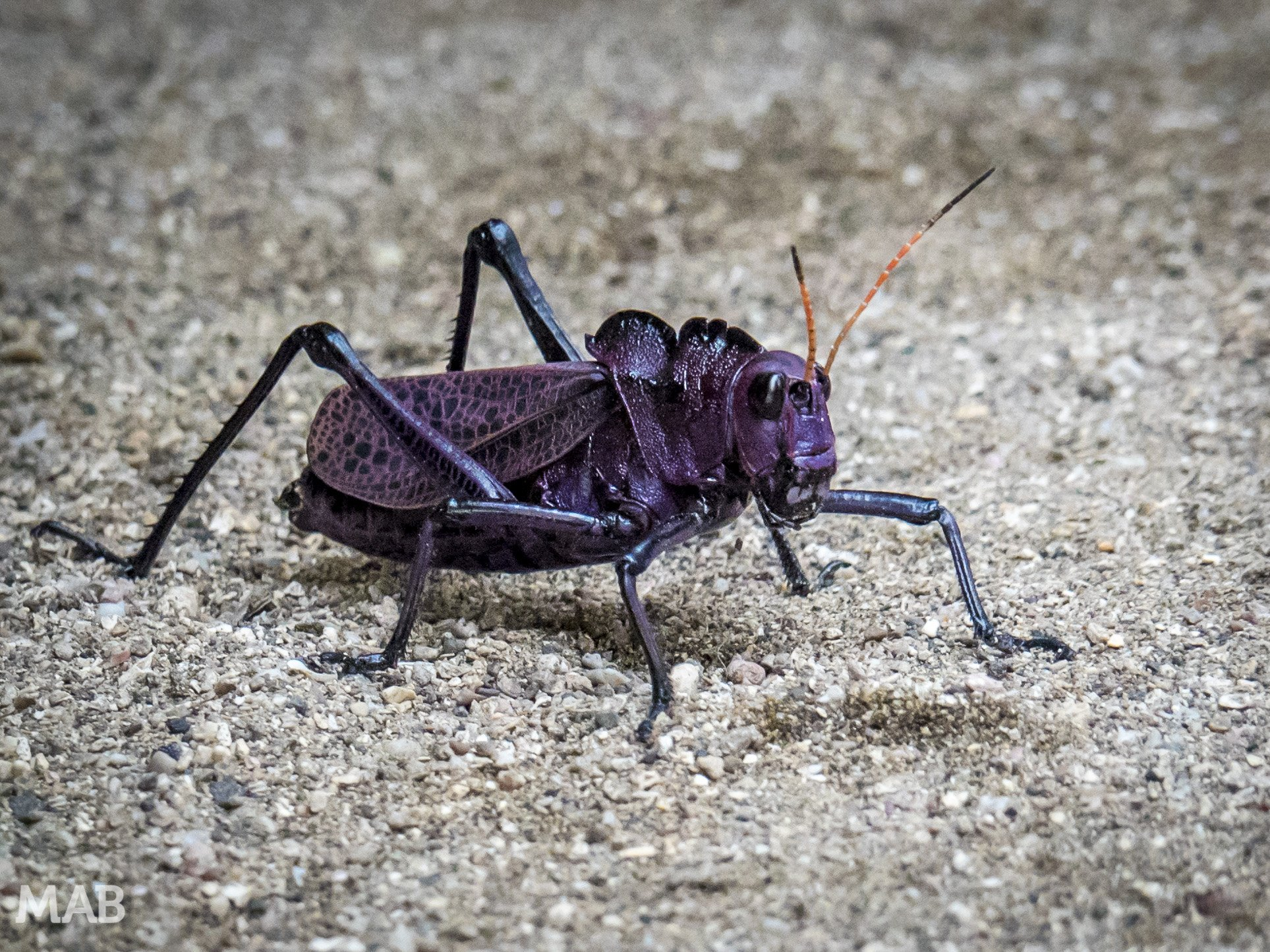 Huge Purple Grasshopper 1