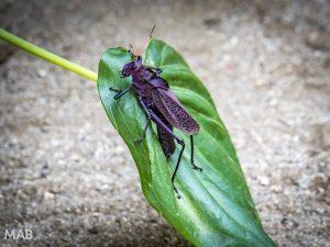 Huge Purple Grasshopper 2