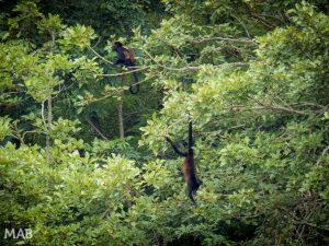 Growler Monkeys