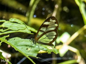 Glass-Winged Butterfly