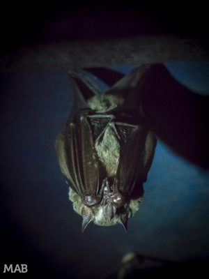 Little Bats 2