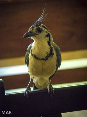 Annoying Birds of Montezuma