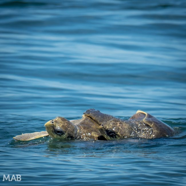 Costa Rica Featured Turtles