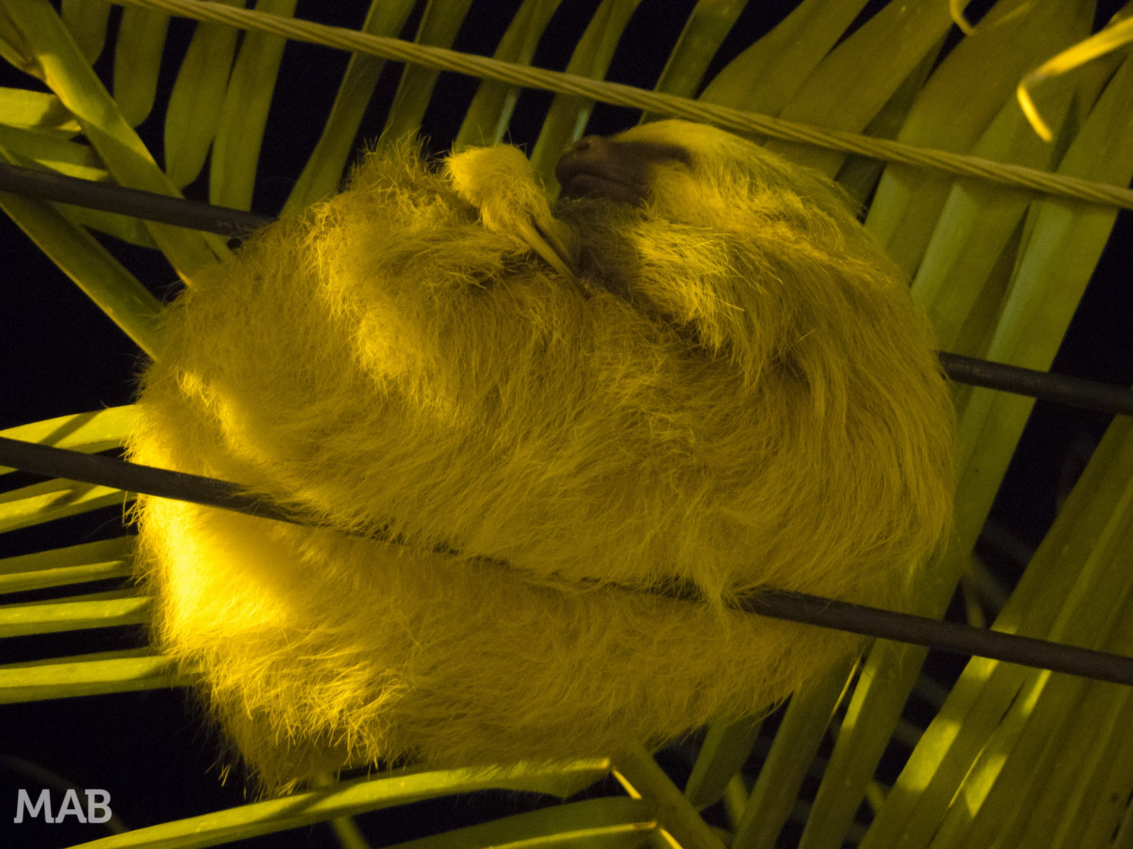 Sleeping Two-Toed Sloth