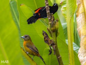 Male and Female Cherrie's Tanager