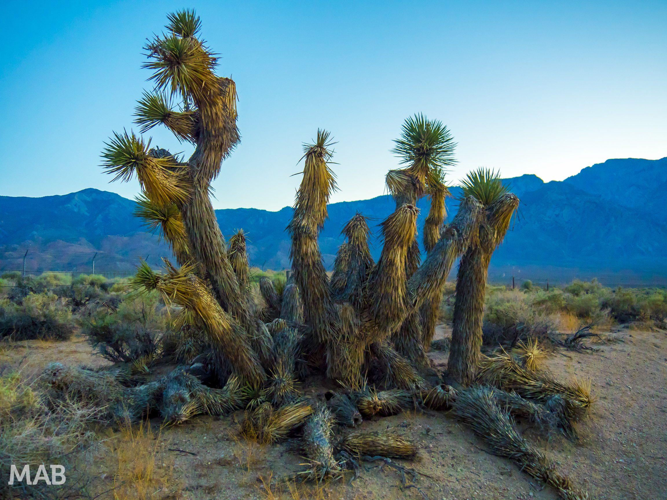 Cactus in Olancha