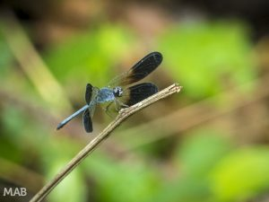 Lots of Dragonflies 1