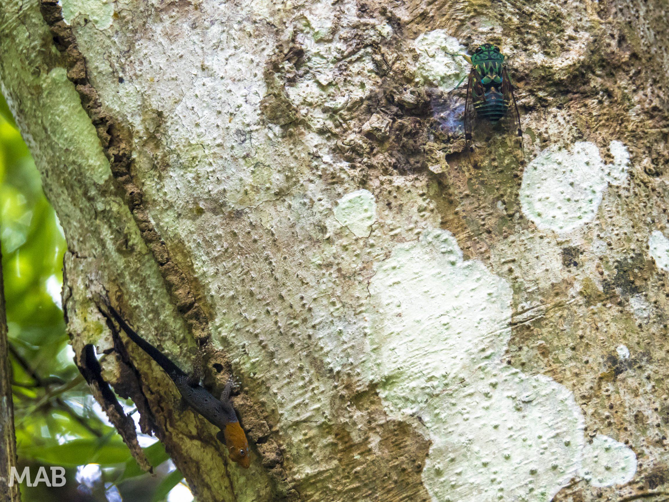 Cicada Meets Lizard