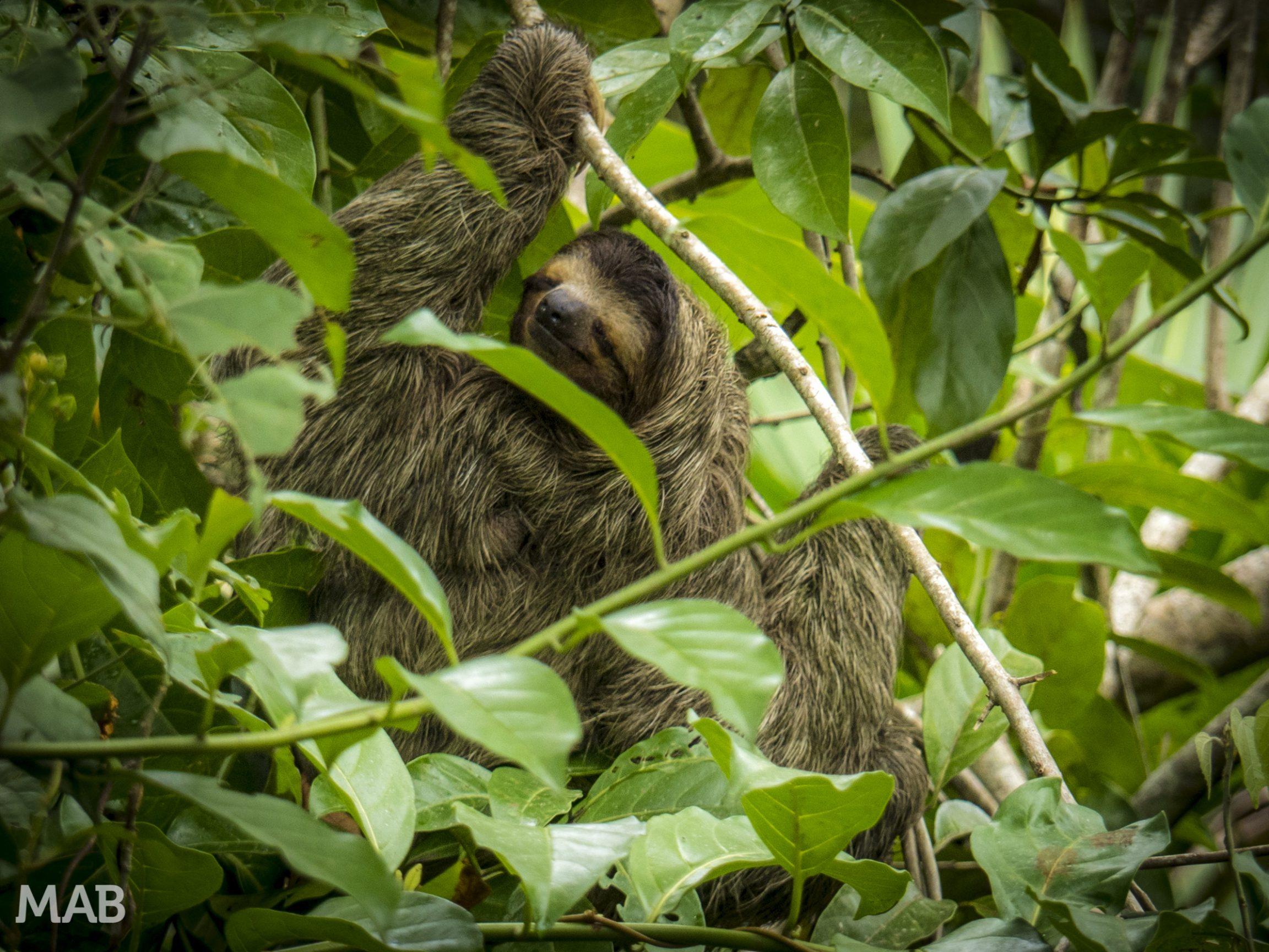 Happy Three-Toed Sloth