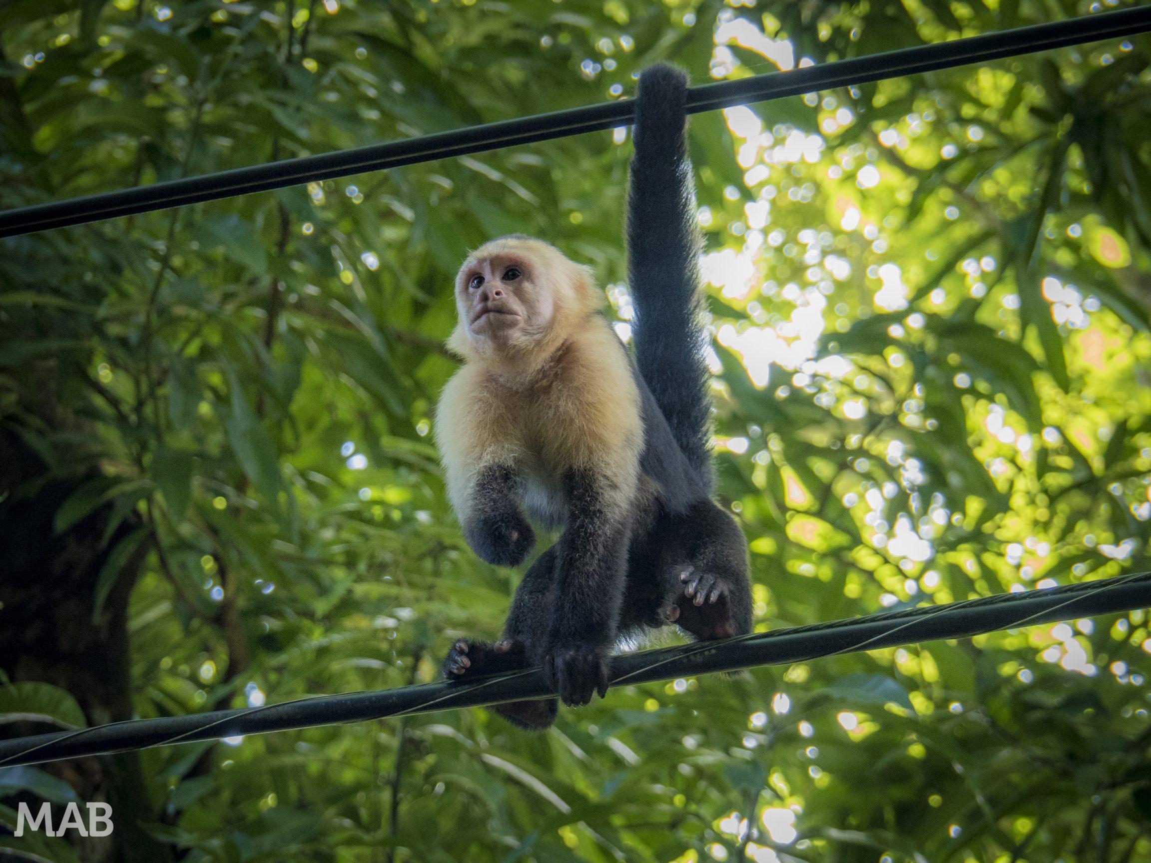 Capuchin Monkey Lost His Hand